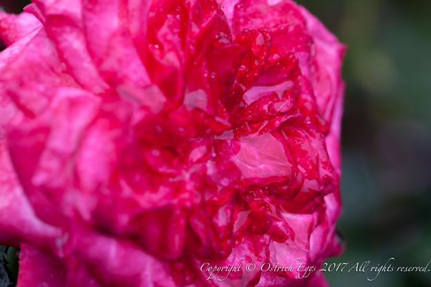 Rose-3734