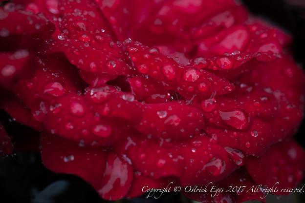 Rose-3753