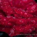 Photos: Rose-3753