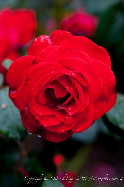 Photos: Rose-3755
