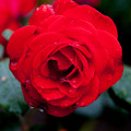 Rose-3755