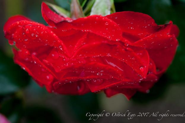Photos: Rose-3756