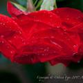 Rose-3756
