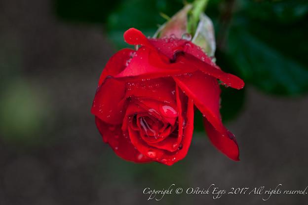 Photos: Rose-3757