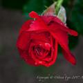 Rose-3757