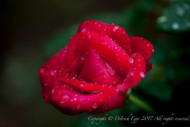 Photos: Rose-3773