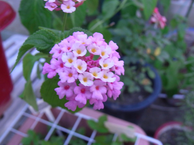 【園芸】ピンク系のランタナ|2017年[夏]