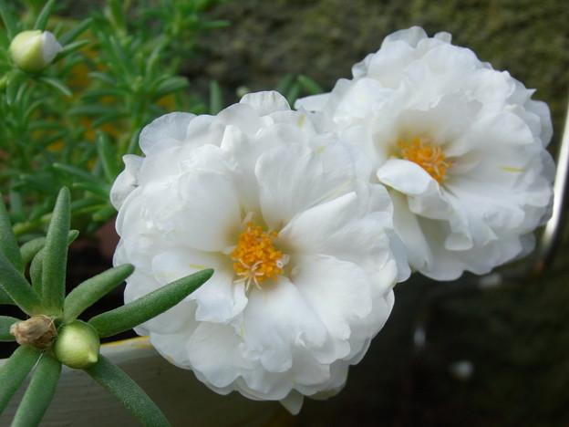 【園芸】白い花|2017年[夏]