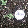 写真: 【園芸】レースラベンダー 発芽と生長|2017年[秋]