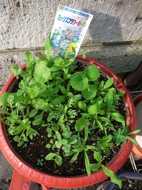 【園芸】秋植えしたミックスフラワーガーデンの種が発芽|2017年[秋]