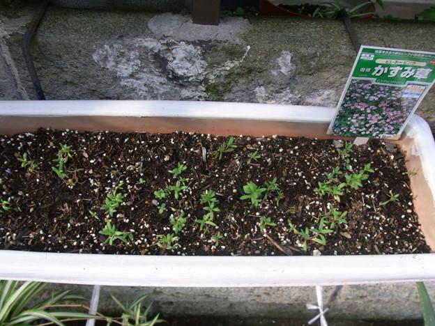【園芸】秋植えしたかすみ草の種が発芽 2017年[秋]