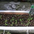 写真: 【園芸】秋植えしたかすみ草の種が発芽|2017年[秋]