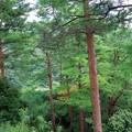 写真: アカマツ林