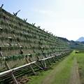 写真: 薩摩富士を目標に