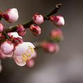 Photos: 高知城 梅の段