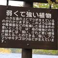 140518-5東北ツーリング・十和田湖・弱くて強い植物