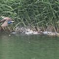 私の野鳥図鑑・160525近づいてきたカルガモを追い払う母カルガモ(2/2)