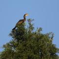 写真: 私の野鳥図鑑・160825お山の大将・カワウ