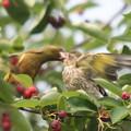 私の野鳥図鑑・080605カワラヒワ(2/2)