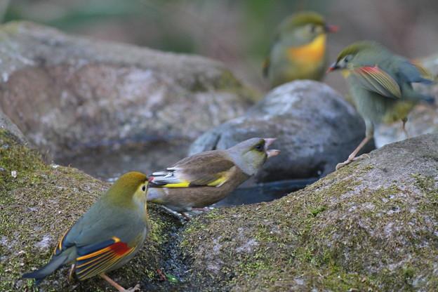 私の野鳥図鑑・110114カワラヒワとソウシチョウ