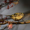 写真: 私の野鳥図鑑・121229キクイタダキ