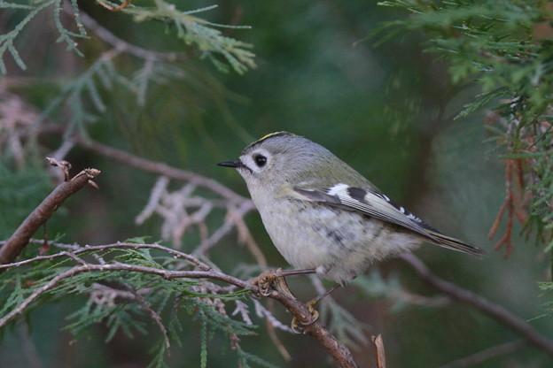 私の野鳥図鑑・130126-IMG_7113キクイタダキ