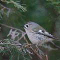 写真: 私の野鳥図鑑・130126-IMG_7113キクイタダキ