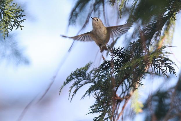 私の野鳥図鑑・130204-IMG_041キクイタダキの飛翔