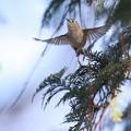 写真: 私の野鳥図鑑・130204-IMG_041キクイタダキの飛翔