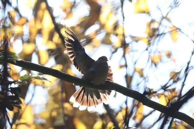 私の野鳥図鑑・141208キジバトの舞い(2/2)