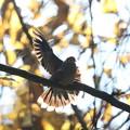 写真: 私の野鳥図鑑・141208キジバトの舞い(2/2)