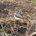 写真: 私の野鳥図鑑・110210キセキレイ