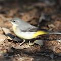 写真: 私の野鳥図鑑・170113-BQ2A0632キセキレイ