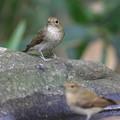 私の野鳥図鑑・151005キビタキ♀t