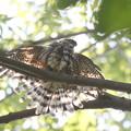 171001-12水浴び後の羽を乾かすツミ♀