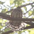 171001-13水浴び後の羽を乾かし終わったツミ♀