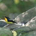 私の野鳥図鑑・151008-15キビタキ♂