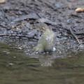 171002-4キビタキ♀の水浴び