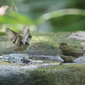 写真: 私の野鳥図鑑・161002キビタキ♀t(3/3)