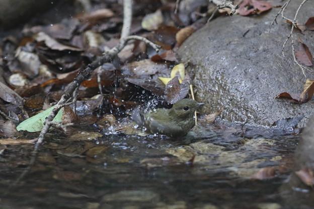 写真: 私の野鳥図鑑・161004キビタキ♀tの水浴び