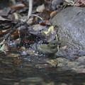 私の野鳥図鑑・161004キビタキ♀tの水浴び