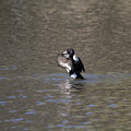 写真: 私の野鳥図鑑・100311キンクロハジロの舞い(2/2)