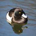 写真: 私の野鳥図鑑・130225キンクロハジロ♂