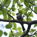 写真: 私の野鳥図鑑・150423クロジ♂
