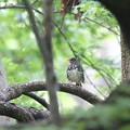 写真: 私の野鳥図鑑・140423クロツグミ♂
