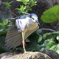 写真: 私の野鳥図鑑・100408-IMG_8728ゴイサギ