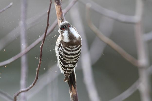 私の野鳥図鑑・120307オスである証拠・コゲラ