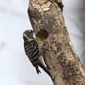 私の野鳥図鑑・130106-IMG_4647細い枯れ木に巣を作るコゲラ