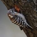 写真: 私の野鳥図鑑・140322コゲラの巣穴掘り