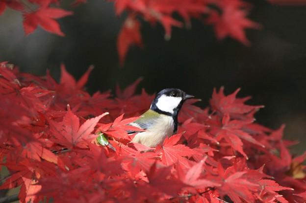 私の野鳥図鑑・091201-1シジュウカラ